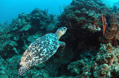 Sea turtle swimming underwater Royalty Free Stock Images