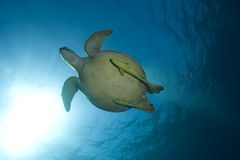 Sea turtle swimming underwater Stock Photos