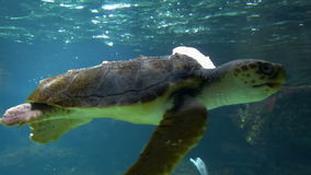 Sea Turtle Swimming Underwater in an Aquarium stock video