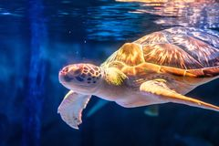 Sea turtle swimming in underwater background. Tortoise in sea background. stock photography
