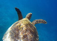Sea turtle swimming underwater. Sea turtle captured while swimming underwater in Indonesia Stock Image