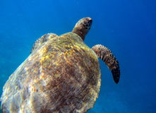 Sea turtle swimming underwater. Sea turtle captured while swimming underwater in Indonesia Royalty Free Stock Photography