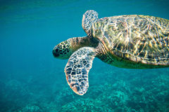 Sea Turtle. Swimming underwater in Hawaii royalty free stock photos