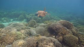 Sea turtle under water. Sea turtle swimming underwater over corals. Sea turtle moves its flippers in the ocean under water. Wonderful and beautiful underwater stock video footage