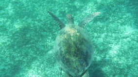 Sea turtle swimming underwater. Slow motion and top view of sea turtle swimming underwater close to the ground stock video footage
