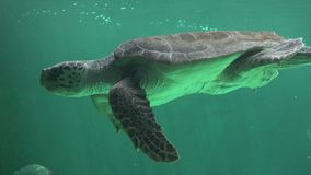 Sea Turtle Swimming Underwater Stock Photography