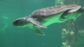 Sea Turtle Swimming Underwater. Stock video in 4k or HD resolution stock video footage