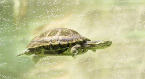 Sea turtle swimming underwater. A turtle or tortoise swimming underwater between bubbles Stock Images