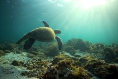 Sea turtle swimming underwater. In tropical ocean lagoon royalty free stock photos