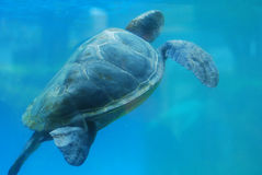Sea Turtle Swimming Up to the Ocean's Surface. Sea turtle swimming along underwater toward the surface stock photography