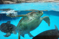 Sea turtle. Swimming in water stock photography