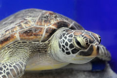 Sea turtle. Swimming in water Stock Image