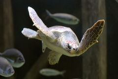 Sea turtle swimming Royalty Free Stock Images