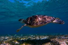 Sea turtle swimming in sea water. The giant sea turtle royalty free stock image