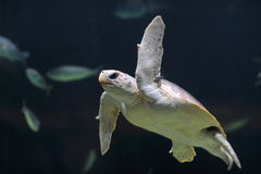 Sea turtle swimming Royalty Free Stock Image