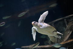 Sea turtle swimming Royalty Free Stock Photos