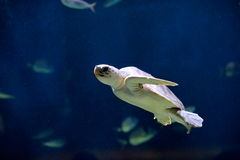 Sea turtle swimming Stock Photography