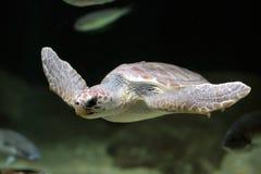 Sea turtle swimming Stock Photo