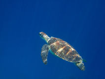 Sea turtle swims Royalty Free Stock Photo