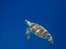 Sea turtle swims Royalty Free Stock Photo