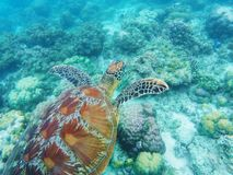 Sea turtle swims above corals on seabottom. White coral sand and coral reef. stock images
