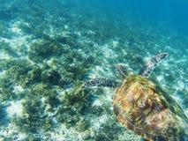 Sea turtle swims above sea bottom. Tropical seashore underwater photo. stock image