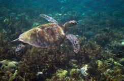 Sea turtle swims above seaweed. Tropical island seashore nature royalty free stock image