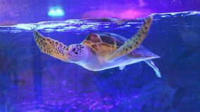 The sea turtle swims in aquarium. Bangkok Oceanarium, Thailand. The turtle swims in a large aquarium. Bangkok Oceanarium, Thailand. Sea life. Scene under water stock video footage