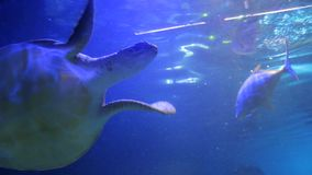 The sea turtle swims. The big sea turtle swims stock footage