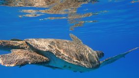 Sea turtle swims in blue sea water aquatic animal underwater photo. A large Sea Turtle playing host to two attached striped Remora swims near the surface through royalty free stock image