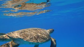 Sea turtle swims in blue sea water aquatic animal underwater photo. A large Sea Turtle playing host to two attached striped Remora swims near the surface through royalty free stock photo