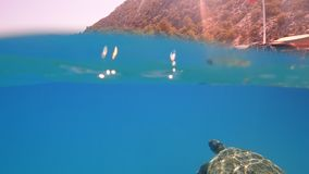 Sea turtle swims in blue sea water aquatic animal underwater photo. A large Sea Turtle playing host to two attached striped Remora swims near the surface through royalty free stock photos