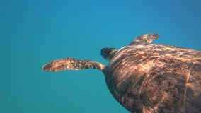 Sea turtle swims in blue sea water aquatic animal underwater video 4K