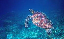 Sea turtle swims in blue sea water. Wild green sea turtle closeup. royalty free stock photography