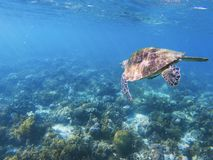 Sea turtle swims in blue water. Coral reef animal underwater photo royalty free stock image