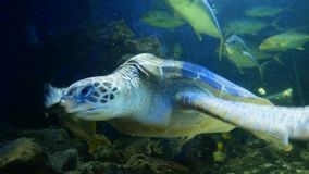 The sea turtle swims in the murky waters of the oceanarium