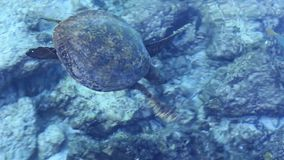 Sea Turtle swims near the coast. It is understood the sea surface to breathe air stock footage