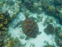 Sea turtle swims near corals on seabottom. White coral sand and coral reef.
