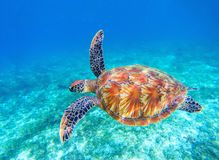 Sea turtle swims in sea water. Big green sea turtle closeup. Wildlife of tropical coral reef. Tortoise undersea. Tropic seashore ecosystem. Big turtle in blue