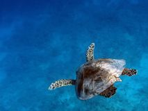 Sea Turtle swims in the transparent ocean water stock photo