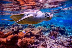 Sea turtle swims under water on the background of coral reefs. Maldives Indian Ocean coral reef stock photography