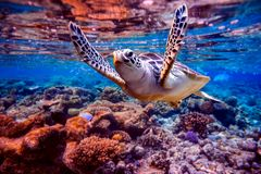Sea turtle swims under water on the background of coral reefs. Maldives Indian Ocean coral reef royalty free stock images