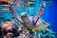 Sea turtle swims under water on the background of coral reefs. Maldives Indian Ocean coral reef stock images