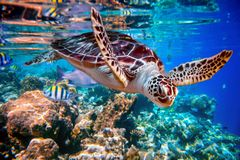 Free Sea Turtle Swims Under Water On The Background Of Coral Reefs Royalty Free Stock Photo - 130672165