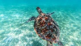 Sea turtle swims in sea water, Olive green sea turtle closeup. Wildlife of tropical coral reef, Aquatic animal underwater photo.  stock photo