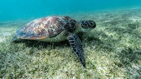 Sea turtle swims in sea water, Olive green sea turtle closeup. Wildlife of tropical coral reef, Aquatic animal underwater photo.  stock image