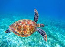 Sea turtle swims in sea water. Olive green sea turtle closeup. Wildlife of tropical coral reef. Royalty Free Stock Images