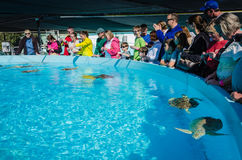 Sea Turtle Tanks - Marathon, Florida. Visitors observing and photographing rehabilitating sea turtles at the Turtle Hospital, a small non-profit organization Stock Photography