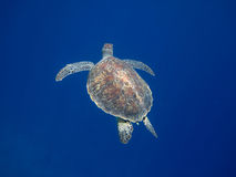 Sea turtle to the top Stock Images