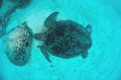 Sea Turtle from top view  underwater Royalty Free Stock Photos